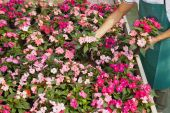 stock photo of flower shop  - High angle view of florist arranging pink flowers pots - JPG