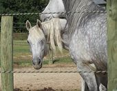 image of dapple-grey  - Best friend gray horses together in paddock on farm - JPG