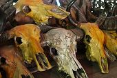 image of cow skeleton  - Buffalo skull and cow skull when useless - JPG