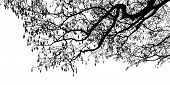 stock photo of alder-tree  - Black Alder tree branches silhouette - JPG