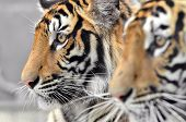 foto of tiger eye  - close up of a bengal tiger eyes - JPG