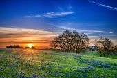 stock photo of bluebonnets  - Texas bluebonnet spring wildflower field at sunrise - JPG
