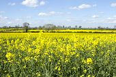 foto of rape-seed  - a field of oil seed rape on a sunny day - JPG
