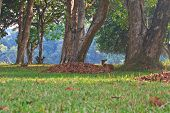 stock photo of black tail deer  - Barking deer or Muntiacus muntjak in a field of grass - JPG