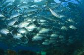 stock photo of bigeye  - School of Bigeye Jackfish  - JPG
