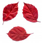 stock photo of creeper  - Red autumn virginia creeper leaves on white background - JPG