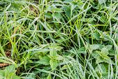 foto of sting  - Small dew drops on ;ong blades of grass and on the leaves of stinging nettles early in the early morning in the autumn season. ** Note: Shallow depth of field - JPG