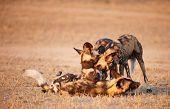 Постер, плакат: Африканские дикие собаки Гиеновидная собака