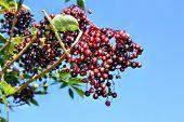 picture of elderberry  - Unripe fruits of elderberry on blue sky background - JPG