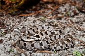 stock photo of harmless snakes  - An Eastern Hognose Snake coiled on the ground - JPG