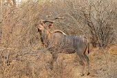 foto of greater  - The greater kudu is a woodland antelope found throughout eastern and southern Africa - JPG