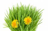 foto of catnip  - fresh grass tuft with two dandelion flowers isolated on white - JPG