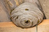 foto of wasp sting  - Closeup view of wasps and huge nest - JPG