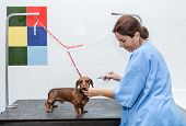 Woman In Red Dachshund Canine Hairdresser poster