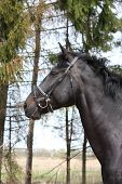 picture of bridle  - Portrait of black sport horse with leather bridle