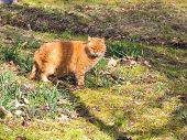 foto of squinting  - red cat squinting from the sun on the grass outdoors - JPG
