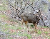 image of mule  - A Mule deer in meadow  - JPG
