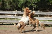 stock photo of pony  - Two young ponies fight in a paddock  - JPG