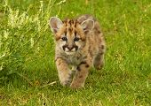image of mountain lion  - Six weeks old baby Mountain Lion walking toward the camera - JPG
