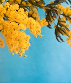 stock photo of mimosa  - Branch of mimosa on blue background - JPG
