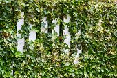 foto of tendril  - Parthenocissus tendril climbing decorative plant over the white fence - JPG