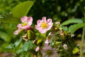 image of strawberry plant  - growing up strawberry plant with small flowers - JPG