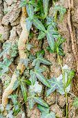 foto of ivy vine  - Ivy Hedera helix or European ivy climbing on rough bark of a tree - JPG