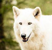 stock photo of white wolf  - A beautiful hi - JPG