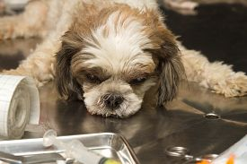 pic of castration  - dog under anesthetic prepared for sterilization operation - JPG