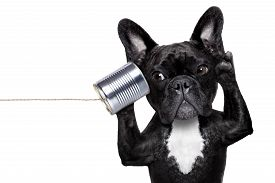 stock photo of chat  - french bulldog dog listening or talking on the can telephone isolated on white background - JPG