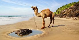 pic of camel-cart  - Sea landscape with a camel in India - JPG