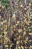 stock photo of willow  - Willow tree in bloom - JPG