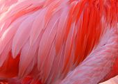picture of flamingo  - Feather of a flamingo bird - JPG