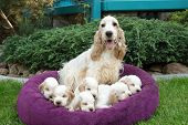 image of puppies mother dog  - family of lying English Cocker Spaniel puppy 24 days old with mother - JPG