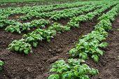 image of potato-field  - Potato field with green shoots of potatoes - JPG