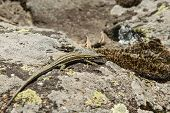 picture of lizards  - a small lizard sunning on a slope stone of the dangers - JPG