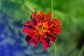 stock photo of marigold  - Marigold flower in the garden - JPG
