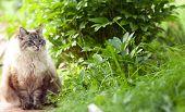 image of siamese  - Old Siamese cat sitting on a footpath near the bush  - JPG