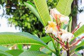 picture of plumeria flower  - Leelavadee Plumeria tropical the flowers in garden - JPG