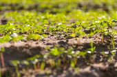 stock photo of buckwheat  - Beautiful close up of young buckwheat sprouts growing on field - JPG