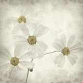 foto of tansy  - textured old paper background with Tanacetum ptarmiciflorum Silver Lace Bush or Silver Tansy - JPG