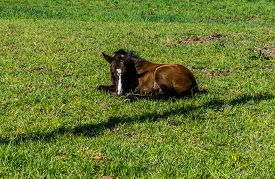 foto of fillies  - Filly laying down in a Meadow near Fort Langley British Columbia - JPG