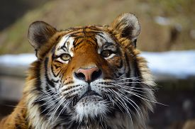 foto of tiger eye  - Look in the eyes of tiger  - JPG