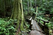 stock photo of mckenzie  - Hikers bridge along the McKenzie river trail in the Oregoncascades - JPG