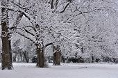 pic of pecan tree  - Snow covered pecan trees in north Texas - JPG