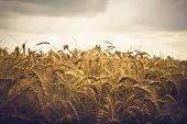 Wheat Field Background. Close Up Image Of Wheat Field. Wheat Field In Rainy Day. Wheat Field. Countr poster