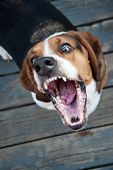 stock photo of vicious  - Vicious Basset Hound biting with teeth showing - JPG