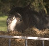 stock photo of shire horse  - Shire horse eating hay in field on farm - JPG