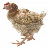 Layers - Hen From Intensive  Indoor Farming - Animal Protection Concept poster