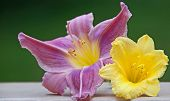 A Photo Of Two Daylily Blossoms Complimenting Each Other With Their Vibrant Shades Of Lavender And Y poster